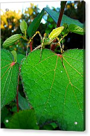 Acrylic Print featuring the photograph Green Lynx Spider 002 by Chris Mercer