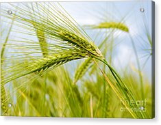 Green Rye Art Acrylic Print by Boon Mee