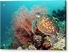 Green Sea Turtle And Gorgonian Acrylic Print by Georgette Douwma