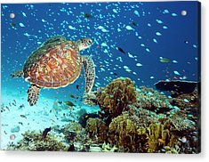 Green Sea Turtle And Reef Fish Acrylic Print by Georgette Douwma