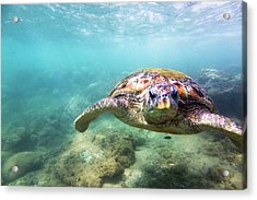 Green Sea Turtle Chelonia Mydas Acrylic Print by Danilovi