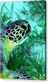 Green Sea Turtle Feeding Acrylic Print