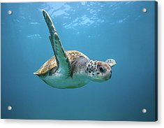 Green Sea Turtle In Canary Islands Acrylic Print by James R.d. Scott