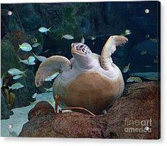 Green Sea Turtle Acrylic Print by Kathy Baccari