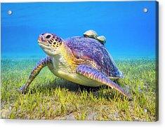 Green Sea Turtle Near Marsa Alam , Egypt Acrylic Print