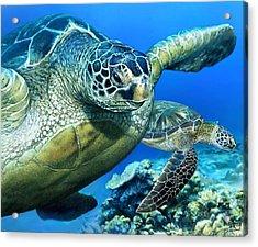 Green Sea Turtle Acrylic Print by Owen Bell