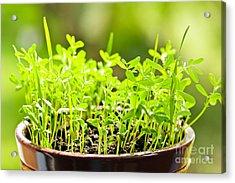 Green Spring Seedlings Acrylic Print by Elena Elisseeva