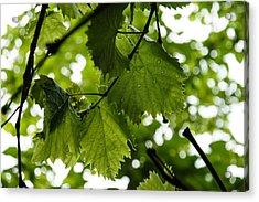 Green Summer Rain With Grape Leaves Acrylic Print by Georgia Mizuleva