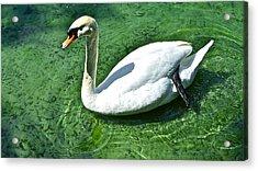 Green Swan Acrylic Print