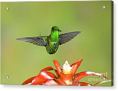 Green Thorntail Male Acrylic Print by Anthony Mercieca