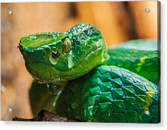 Green Tree Pit Viper Acrylic Print by Craig Lapsley