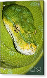 Acrylic Print featuring the photograph Green Tree Python #2 by Judy Whitton