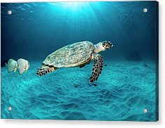 Green Turtle And Circular Spadefish Acrylic Print by Georgette Douwma