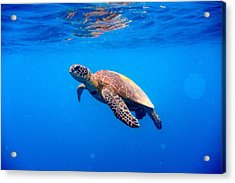 Green Turtle Approaching Water Surface Acrylic Print by Searsie