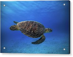 Green Turtle In The Blue Acrylic Print by Barathieu Gabriel