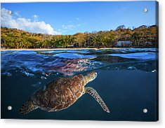 Green Turtle - Sea Turtle Acrylic Print by Barathieu Gabriel
