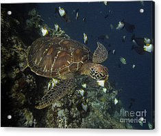 Acrylic Print featuring the photograph Hawksbill Turtle by Sergey Lukashin