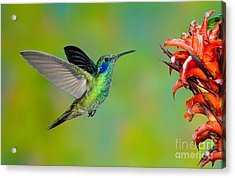 Green Violet-ear Hummingbird Acrylic Print by Anthony Mercieca