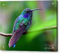 Green Violet Ear Hummingbird Acrylic Print by Myrna Bradshaw
