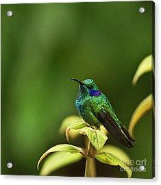 Green Violetear Hummingbird Acrylic Print