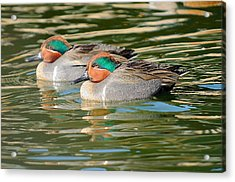 Green-wing Teal  Acrylic Print by James Lewis