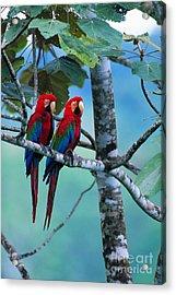 Green-winged Macaws Acrylic Print