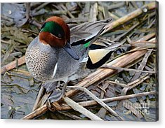 Acrylic Print featuring the photograph Green-winged Teal by Debra Martz