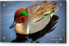 Green Winged Teal  Duck  Acrylic Print by Susan Garren