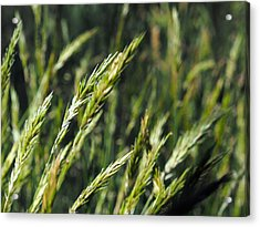 Greener Grass Acrylic Print by Justin Woodhouse