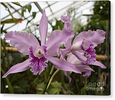 Greenhouse Ruffly Orchids Acrylic Print by Carol Groenen