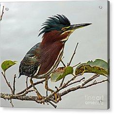 Audubon's Green Heron Acrylic Print