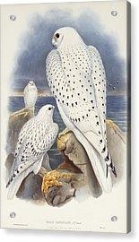 Greenland Falcon Acrylic Print by John Gould