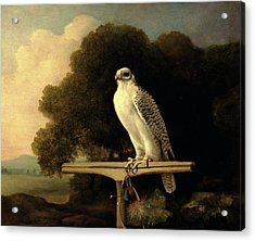 Greenland Falcon Gyr Falcon Signed And Dated Acrylic Print by Litz Collection