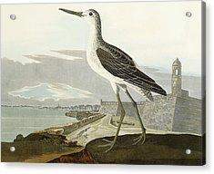 Greenshank Acrylic Print by John James Audubon