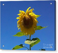 Sunflower With Open Arms Acrylic Print