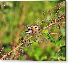 Gregarious Grasshoppers Acrylic Print by Al Powell Photography USA
