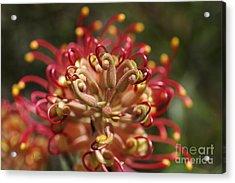 Grevillea Superb Australian Flora Acrylic Print by Joy Watson