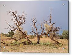 Grey Camelthorn Tree In The Auob Riverbed Acrylic Print