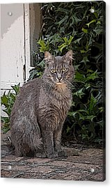 Grey Cat Acrylic Print by Donald Williams