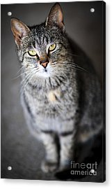Grey Cat Portrait Acrylic Print by Elena Elisseeva