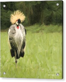 Grey Crowned-crane  Balearica Regulorum Acrylic Print