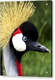 Grey Crowned Crane Acrylic Print by Ron Grafe