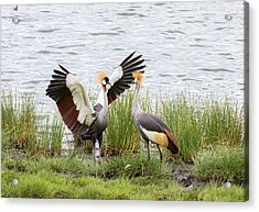 Grey-crowned Cranes (balearica Regulorum Acrylic Print