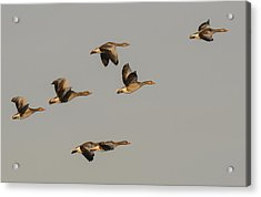 Grey Geese Acrylic Print by Michael Mogensen