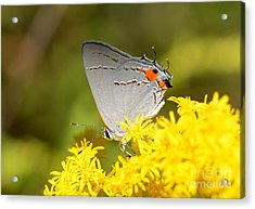 Grey Hairstreak Butterfly Acrylic Print by Kathy Baccari