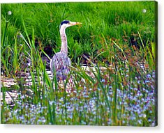 Grey Heron Acrylic Print by Trevor Kersley