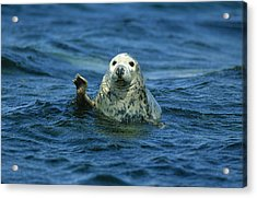 Grey Seal Waving Acrylic Print by Martin Woike
