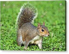Acrylic Print featuring the photograph Grey Squirrel by Antonio Scarpi