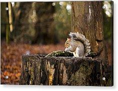Grey Squirrel On A Stump Acrylic Print