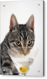 Grey Tabby Cat Drinking Acrylic Print by Thomas Kitchin & Victoria Hurst